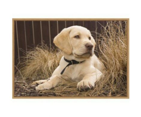 labrador retriever breed
