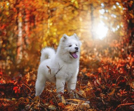 SAMOYED,DOG,BREED