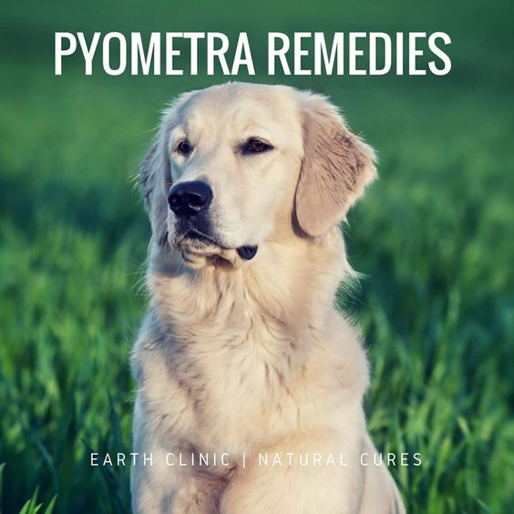 Pyometra in dogs,how to treat Pyometra in dogs